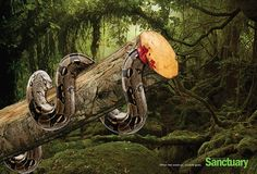 """Brand-Sanctuary Communication objective is to let the public know that deforestation is harmful to the wildlife as well and not just the trees. The headline is """"When the wood go, wildlife go"""" this works well with the picture because its literally showing the wood and the snake dying together."""