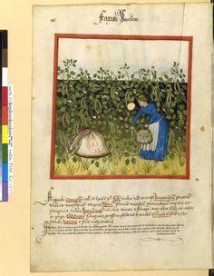 Tacuinum Sanitatis - BNF Ms. Latin 9333 Date: Rhineland, mid- 15th century. fol 48v Stangenbohne
