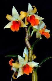 Resultado de imagem para Dendrobium Star King 'Irvine'