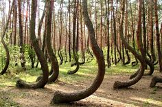 Curious Places: The Crooked Forest (near Gryfino/ Poland)