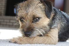 Border Terrier yes I know  shouldn't have but the grass was sooo green over there!