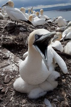 Gannet on nest with chick, Bass Rock