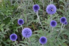 ECHINOPS ritro 'Veitch's Blue'Available from Avondale Nursery. A small retail nursery, based in the Midlands, specialising in rare and unusual herbaceous perennials, ornamental grasses, ferns and bamboos. Herbaceous Border, Herbaceous Perennials, Plants, Ornamental Grasses, Medicinal Plants, Hardy Perennials, Planting Plan, Perennials, Flowers