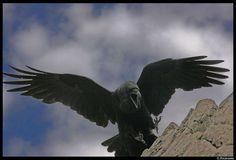 Threatening Raven