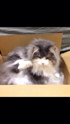 Hyne, Norwegian Forest Cat 段ボール大好きハイネ carton box love cat