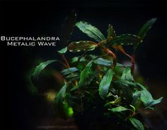 Bucephalandra Metalic Wave