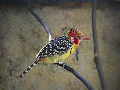 Red-and-yellow Barbet _ JBP ☺