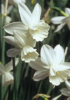 "NIVETH, 1931 - This refined, up-town cousin of everybody's favorite 'Thalia' sets the hearts of daffodil connoisseurs aflutter. It's sublimely graceful, with smoother, thicker, more shapely petals of a white that expert Michael Jefferson-Brown calls ""dazzling in its purity."" 18-20"", zones 5a-8a"