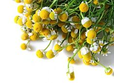 Photo about Camomile flowers with green parts on white background. Image of yellow, health, medicinal - 2704026 Alternative Therapies, Natural Remedies, Herbs, Stock Photos, Fruit, Health, Plants, Image, Green Flowers