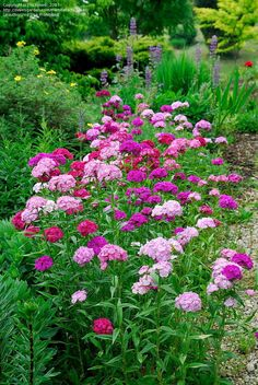 """Dianthus barbatus (biennial/short-lived perennial). Blooms all summer and into early fall, attracts bees and butterflies. Its common name is """"Sweet William."""""""
