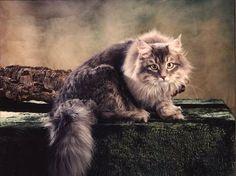 Siberian Cat, hypoallergenic
