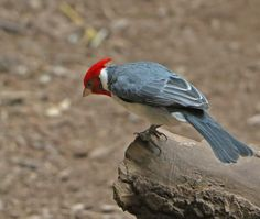 The Red Crested Cardinal comes from South America  - Capron Park Zoo in Attleboro, MA