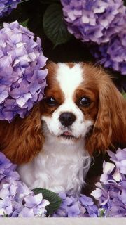 Beautiful dog The Cavalier King Charles Spaniel