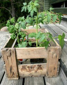 pohjanmaalla  viljellään mm. tomaattia,  kesäkurpitsaa, paprikaa ja yrttejä.