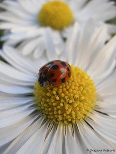 On daisy by Snezana Petrovic on 500px