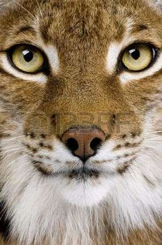 bobcat: Close-up of a Eurasian Lynxs head - Lynx lynx (5 years old) in front of a white background