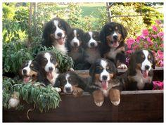 cuccioli bovari del bernese - Cerca con Google