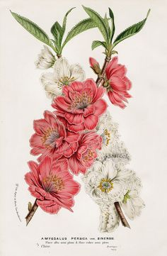 Amygdalus Persica sinensis from Floral Prints of Roses, Violet, Peach, Passion Flower from Van Houtte 1845