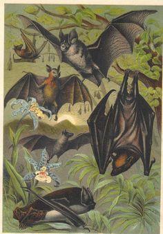 Natural history illustration of bats. Theme Halloween, Vintage Halloween, Nature Illustration, Botanical Illustration, Murcielago Animal, Maleficarum, Beltane, I Am Batman, Vampire Bat