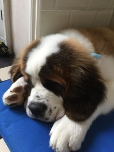 Cute Small Animals, Cute Baby Animals, Animals Beautiful, Animals And Pets, Funny Animals, Cute Dogs And Puppies, Big Dogs, Doggies, St Bernard Puppy