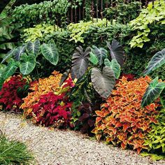 Flower Garden Garden border that's on fire with color; discover the world of vibrant foliage that is coleus! Quick and easy color without the maintenance of flowers: coleus and elephant ear - Try these can't-miss plants for a lush look all summer. Diy Garden, Shade Garden, Dream Garden, Lawn And Garden, Home And Garden, Garden Tips, Tropical Landscaping, Tropical Plants, Garden Landscaping