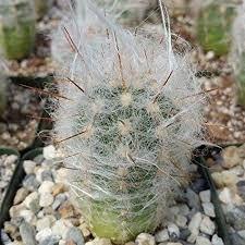 Oreocereus trollii Old Man Cactus Cacti Succulent Real Live Plant - Ideas of Succulents Plants Succulent Bonsai, Planting Succulents, Planting Flowers, Cactus Seeds, Cactus Plants, Cacti, Rat Tail Cactus, Water Lighting, Cactus Flower