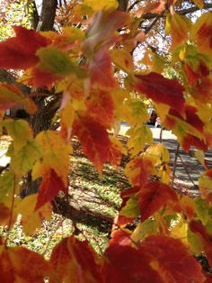 Southern Illinois Fall leaves
