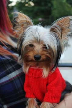 Yorkie Dogs in Clothes