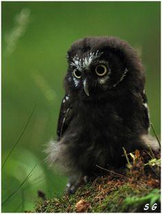 Chouette deTengmalm     (Aegolius funereus)  ( Tengmalms' Owl)