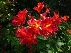 fleur rouge au coeur jaune