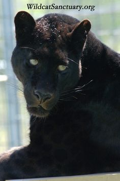 Shazam, the black leopard, is one of everyone's favorites.  So, why doesn't this fascination translate to little black domestic cats in shelters? Did you know they're one of the hardest to adopt out? Why not open your heart and adopt a little black cat from a local shelter soon? Saving a life is one of the greatest feelings