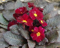 Innisfree Hardy Primrose for sale buy Primula 'Innisfree'
