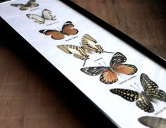 Lepidopterology - Vintage Mounted and Framed Butterfly Collection - Insects - Instant Collection. $78.00, via Etsy.