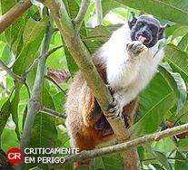 Sauim-de-coleira. Saguinus bicolor. Amazônia. Instituto Chico Mendes de Conservação da Biodiversidade - ICMBio