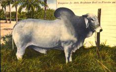 Brahman bull - Bradenton, Florida
