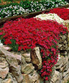 Mossflox (Phlox subulata) | Zon 6. Rikligt blommande, tuvbildande (10 cm hög) flox som förblir grön sommar som vinter. På våren ger den här växten massor av karminröda och vita blommor som lockar fjärilar. Tycker om full sol. Växer bra på marken. Vacker hängande från murar eller planterade i stenpartiet.