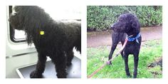 Jar Jar BEFORE & After! #Delta #pets #grooming #dogs http://www.aussiepetmobile.ca/delta-richmond/