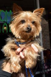 Dawson is an adoptable Yorkshire Terrier Yorkie Dog in Alpharetta, GA.   Dawson is a sweet and loving boy who wants to constantly be by your side and that includes sleeping with you.  I call him my li...
