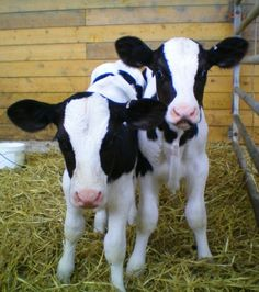 Calves... They may look cute, but don't let that deceive you!!! They have mind all there own... When they want to that is...