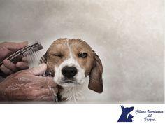 CLÍNICA VETERINARIA DEL BOSQUE. El baño del perro puede ser una de las tareas más difíciles, pero es imprescindible que lo hagas periódicamente para mantener la higiene tanto en tu mascota como en tu casa. En cuanto a la frecuencia con que debes bañarlo, depende del tiempo que pasa fuera de casa, del tipo de pelo y de piel, entre otras cosas. En Clínica Veterinaria del bosque, te ofrecemos el servicio de baño y peluquería para tu mascota. www.veterinariadelbosque.com