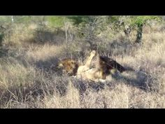 The short story of Mighty Mapogos Lion Coalition We all know mapogos coalition of six male lions. They first appear in March Name of the six lions form Mapogos coalition are- Dreadlocks Makulu P Lion Story, Sand Game, Male Lion, Game Reserve, 9 Year Olds, Big Cats, Lions, Safari, Sands