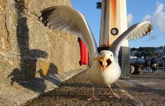 Die will doch nur snacken: Eine Möwe pickt sich am Hafen von St. Ives in...