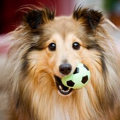 Super cute! I want a sheltie this color someday, sable merle. I want a female and I'd name it Kimmy.
