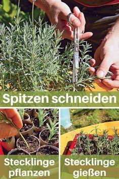 Die weichen Triebe von Lavendel sollten im Frühjahr geschnitten werden, damit die Pflanze unten nicht kahl wird. Die perfekte Möglichkeit, die Pflanzen zu vermehren! #lavendel #vermehren #pflanzen #lavender #garten #gartenarbeit #pflanzenpflege #garden #gardening #selbst