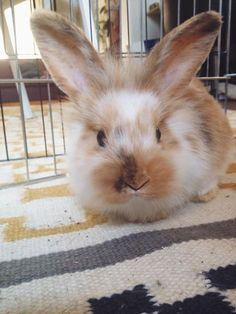 Louis the bunny