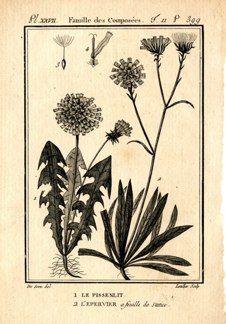 "buffon botanical french 1775 engraving 4 x 6""  $25 - 06"