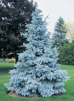 Neon Blue Spruce - Colorado Spruce