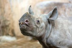 An Eastern Black Rhinoceros calf born on December 28 at Switzerland's Zoo Zurich