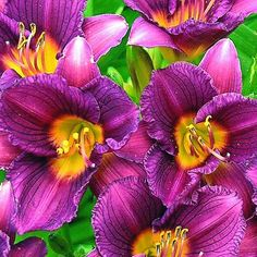 Daylily, Purple D'Oro. I just added these to my own gardens this year!