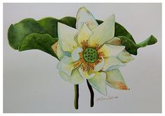 Detailed botanical painting of white lotus flower in watercolor. It always fascinates me to see the details and character of a flower as it ages. I do believe true beauty in every stages of life.